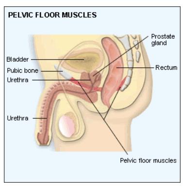 male pelvic muscle diagram