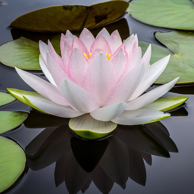Lotus flower floating on water surrounded by Lilly pads